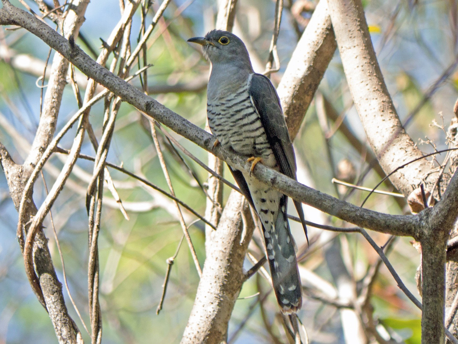 Madagascar Cuckoo - Andrew Wilson