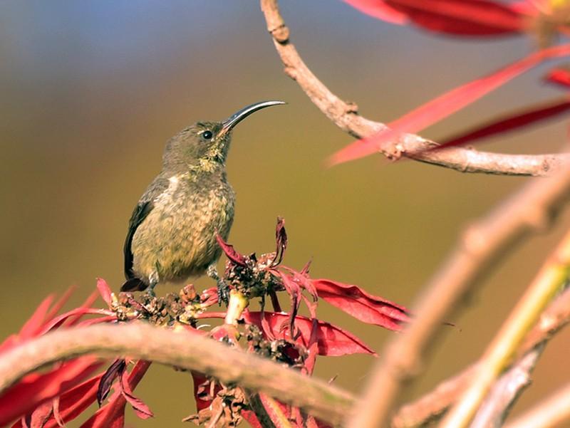 Madagascar Sunbird - Supaporn Teamwong