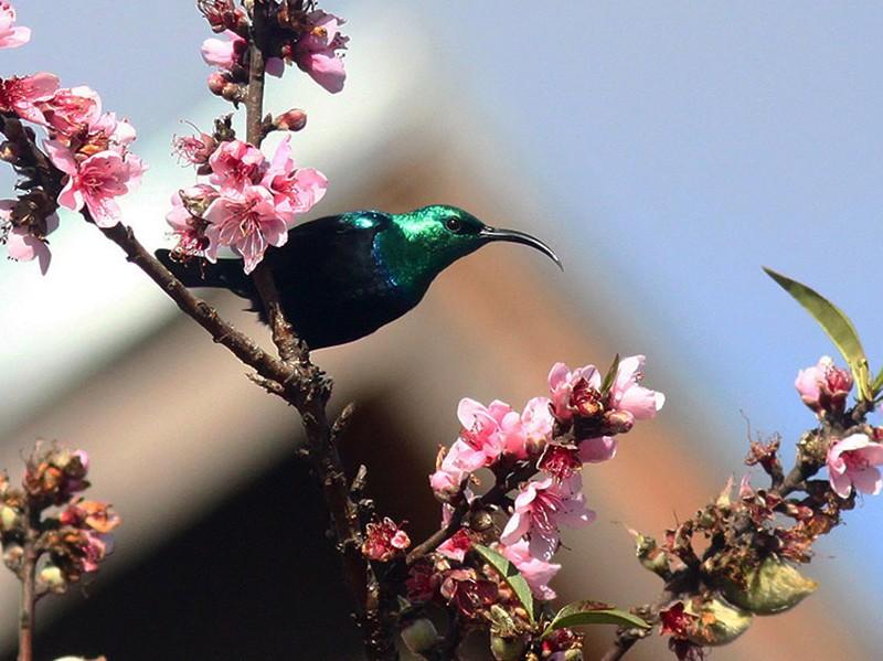 Madagascar Sunbird - Manod Taengtum