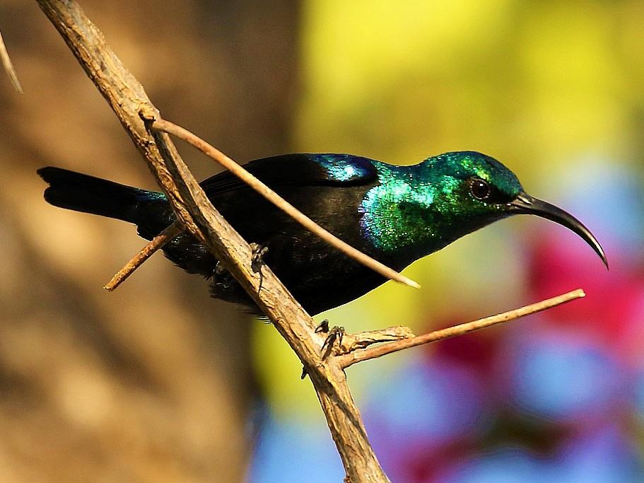 Madagascar Sunbird - Carlos Sanchez