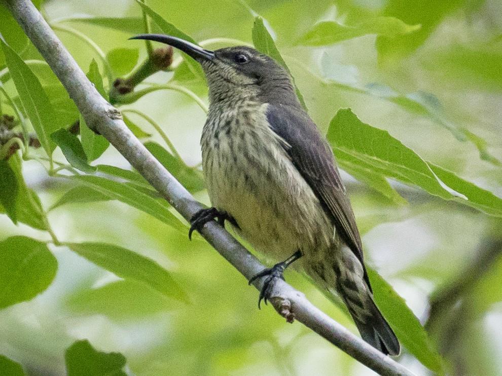 Madagascar Sunbird - Skip Russell