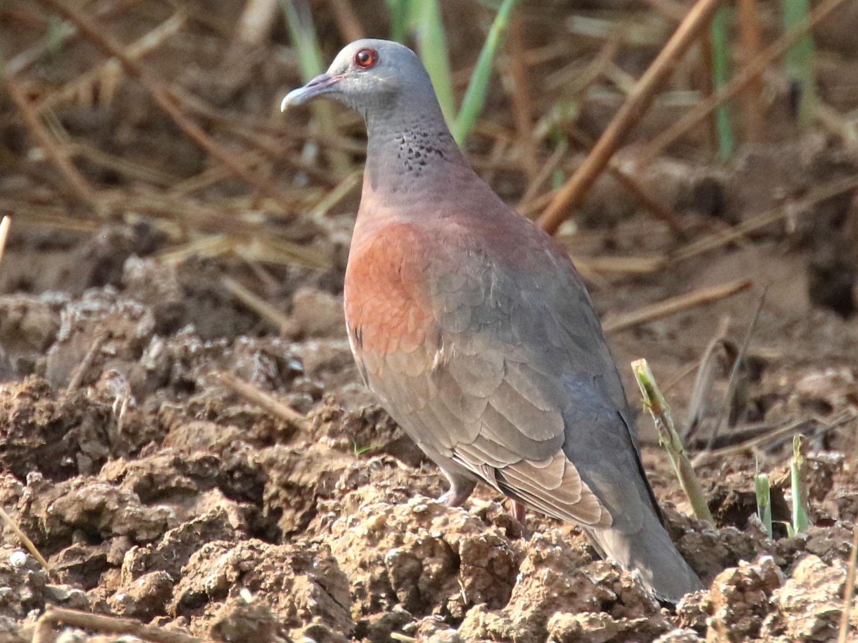 Madagascar Turtle-Dove - Stephen Gast