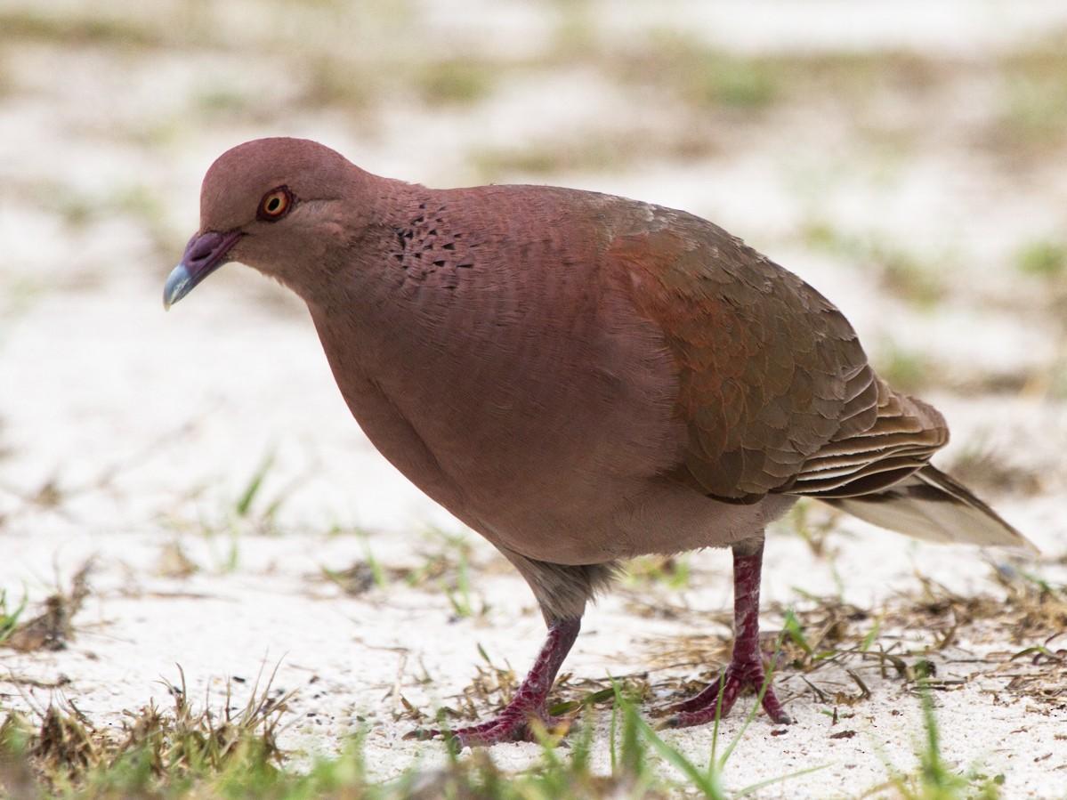 Madagascar Turtle-Dove - Christophe Gouraud