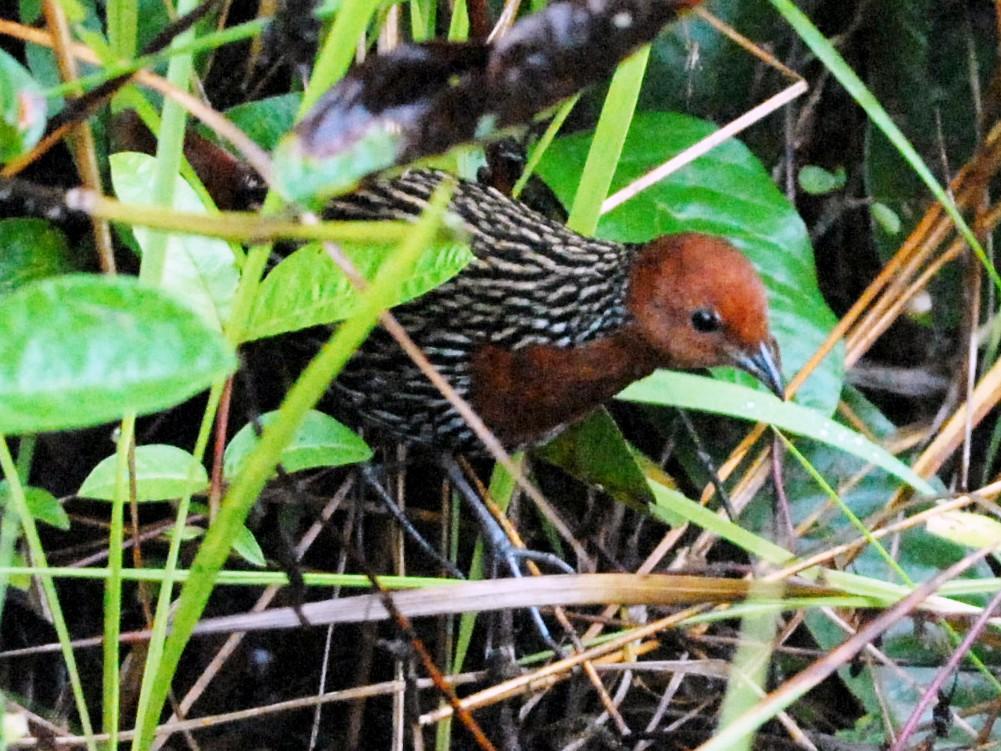 Madagascar Flufftail - Cathy Pasterczyk