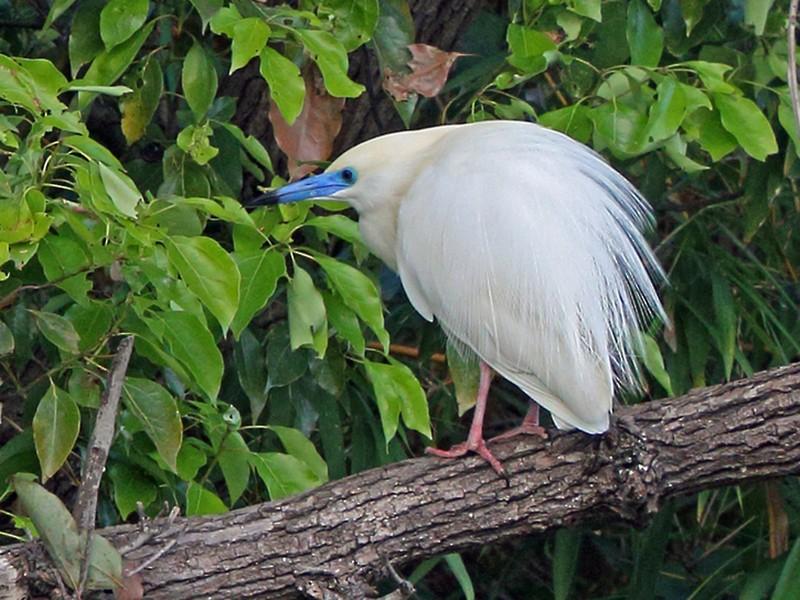 Madagascar Pond-Heron - Nigel Voaden