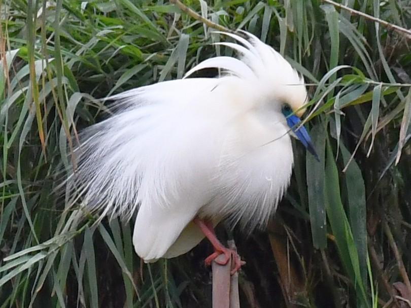 Madagascar Pond-Heron - Jacek Betleja