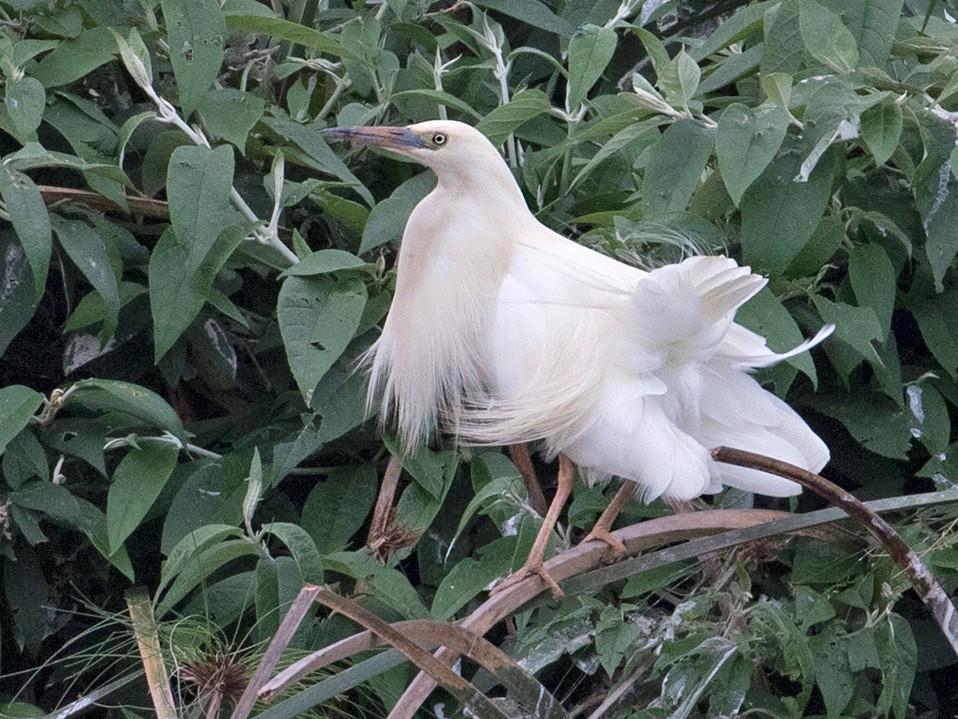 Madagascar Pond-Heron - Sam Woods