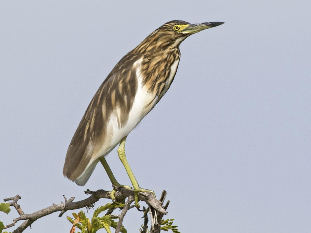 Madagascar Pond-Heron - Zak Pohlen