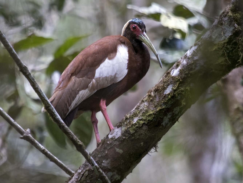 Madagascar Ibis - Zak Pohlen
