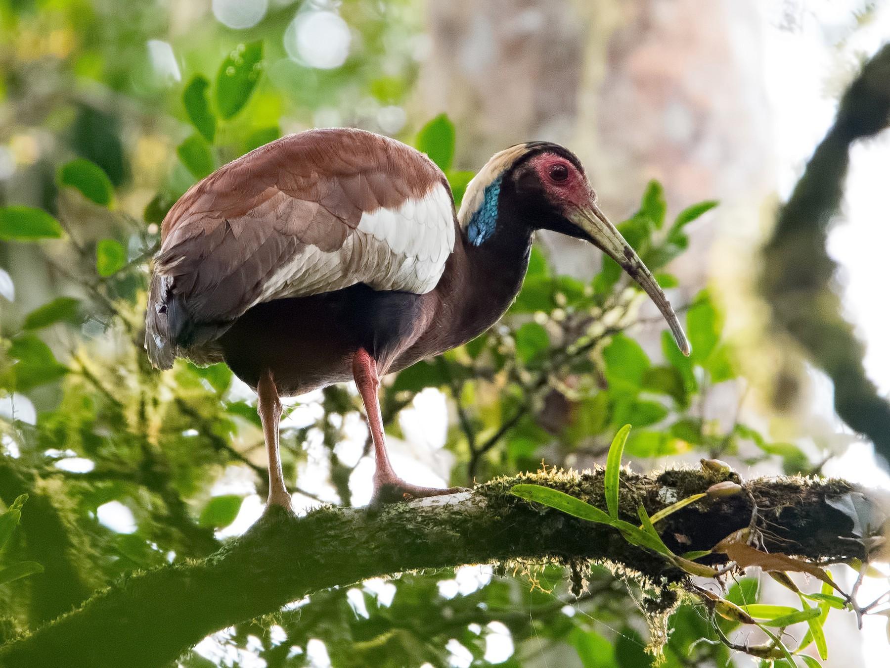 Madagascar Ibis - Shailesh Pinto