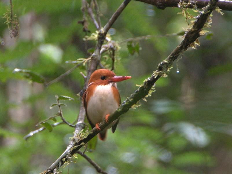 Madagascar Pygmy-Kingfisher - Matthew Schwartz