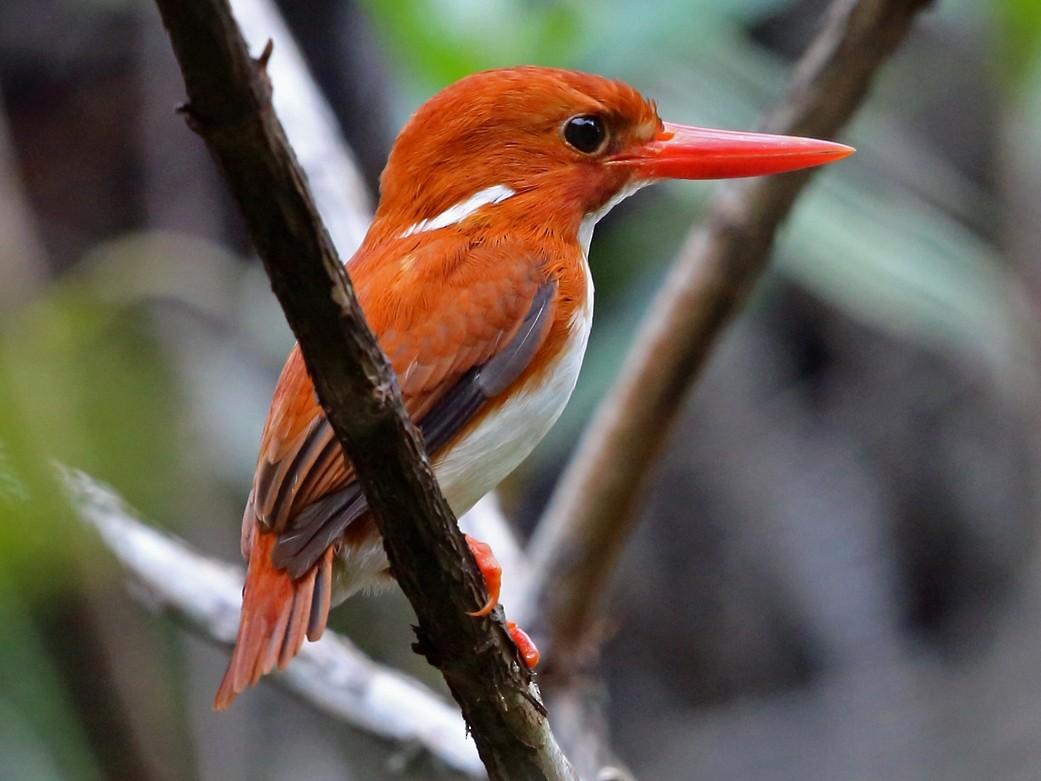 Madagascar Pygmy-Kingfisher - Nigel Voaden