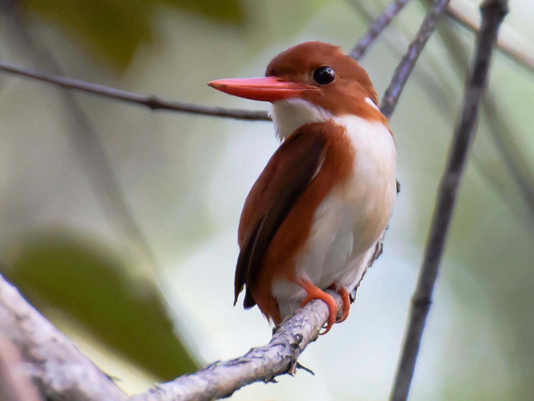 Madagascar Pygmy-Kingfisher - Giuseppe Citino