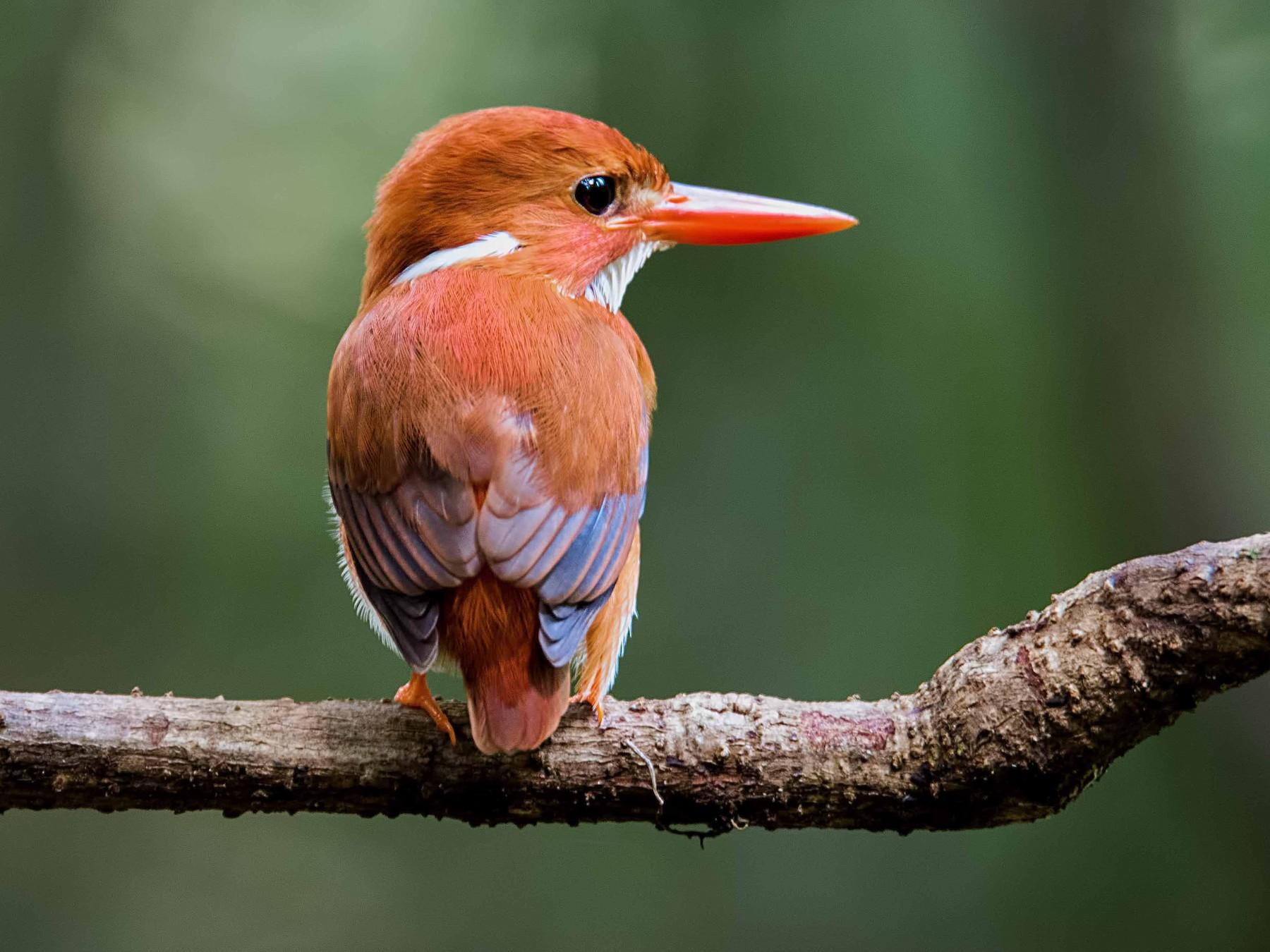 Madagascar Pygmy-Kingfisher - Shailesh Pinto