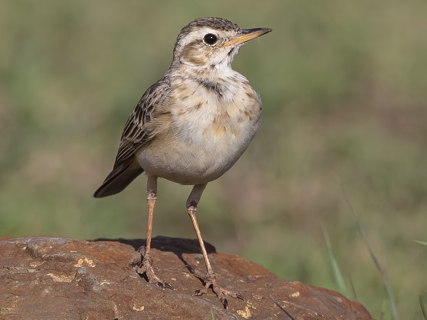 Plain-backed Pipit - Marco Valentini