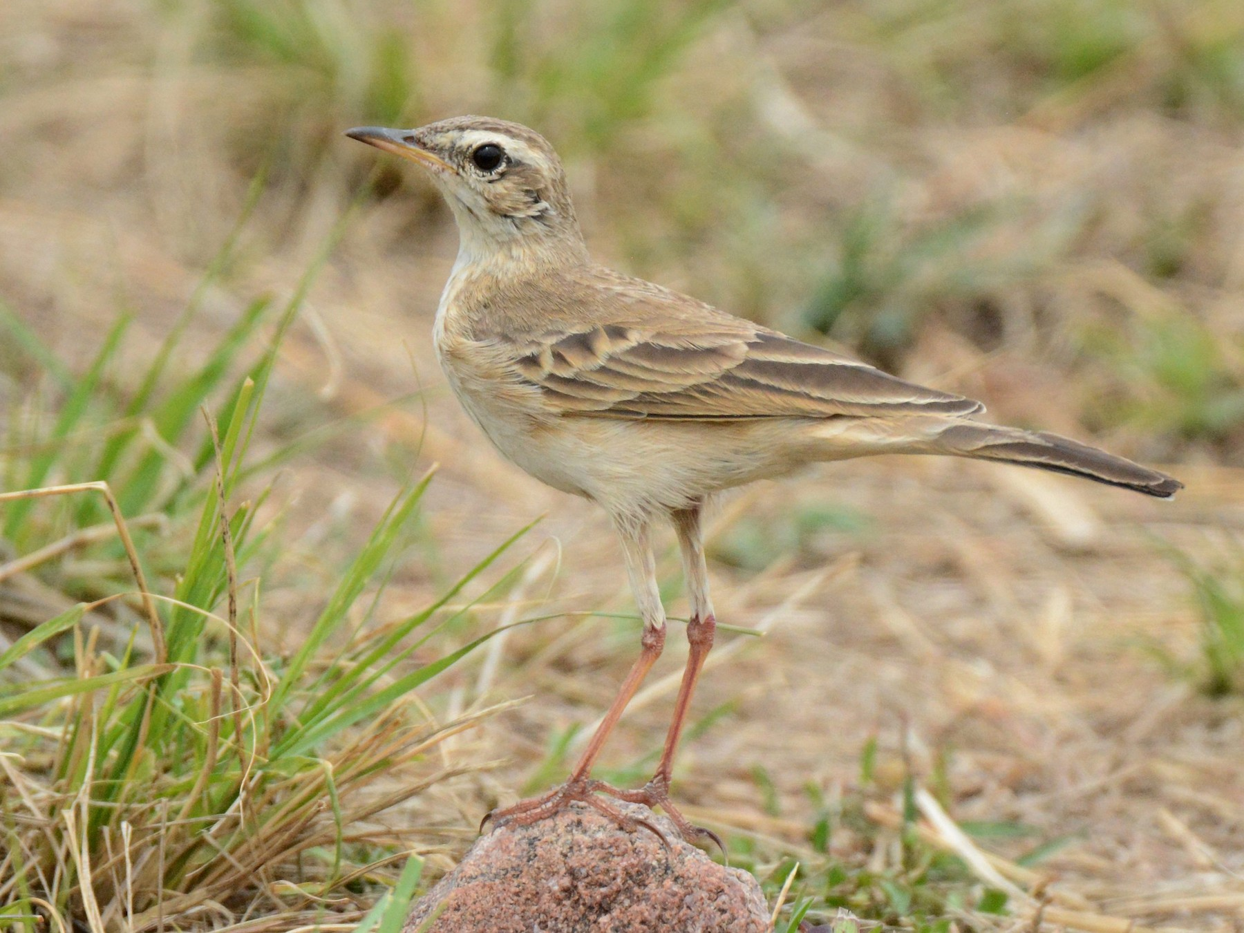 Plain-backed Pipit - Kyle Kittelberger