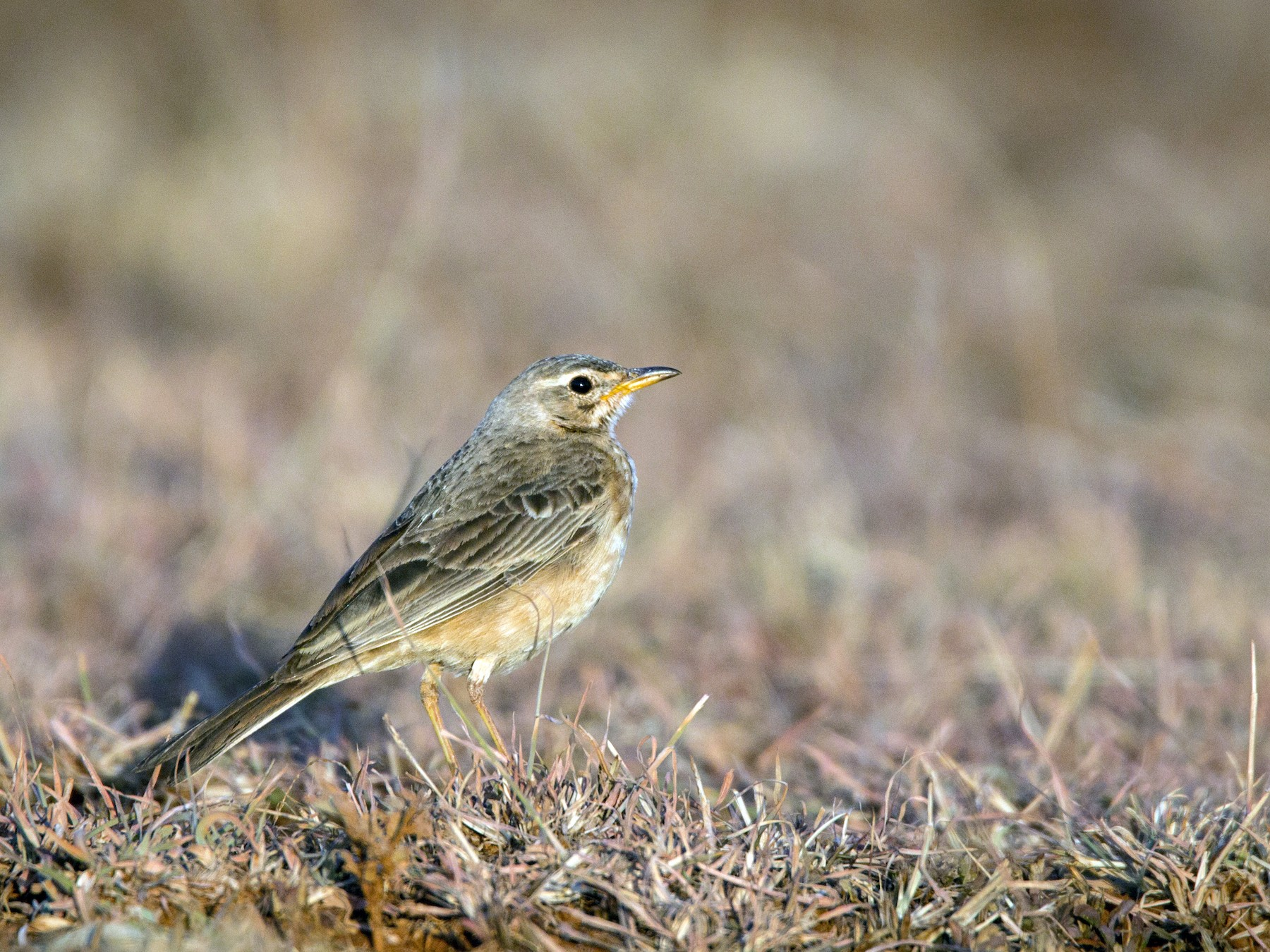 Plain-backed Pipit - Ian Davies