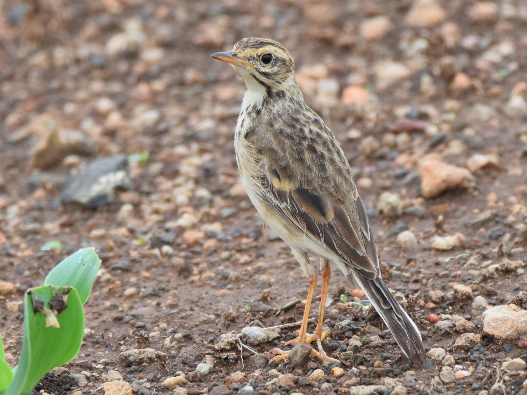 African Pipit - Ryne Rutherford