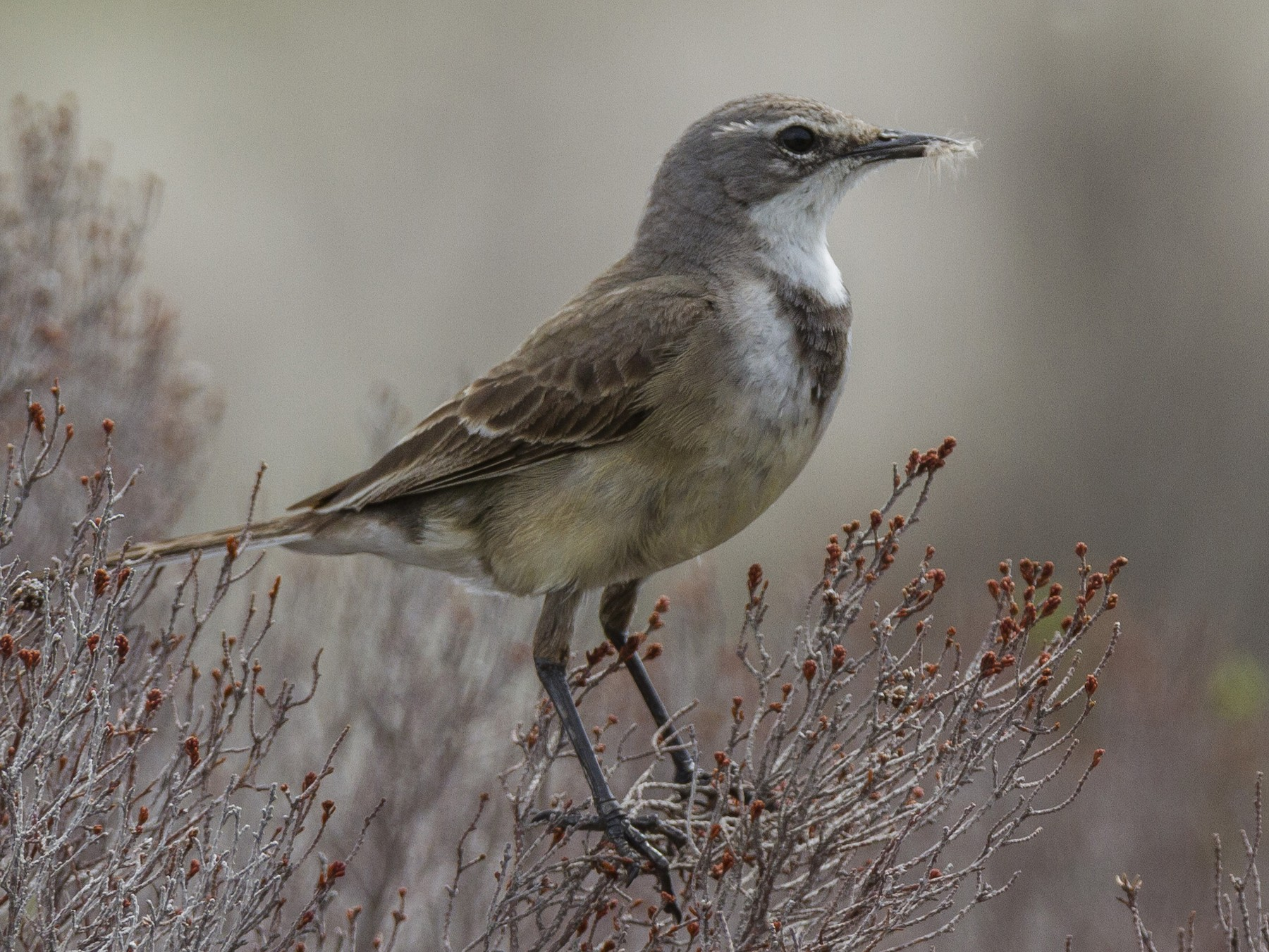 Cape Wagtail - Alexander Thomas
