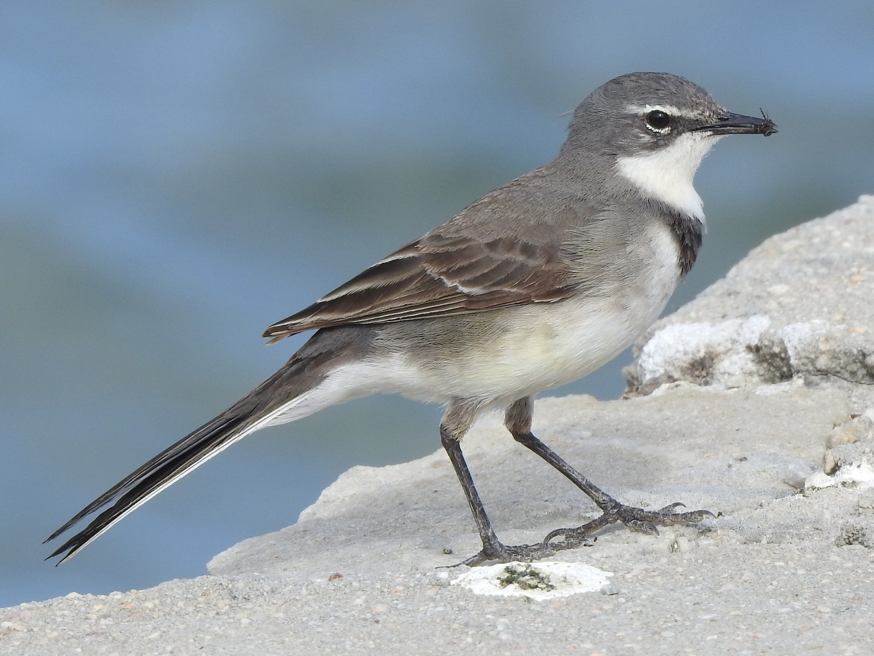 Cape Wagtail - Kent Miller
