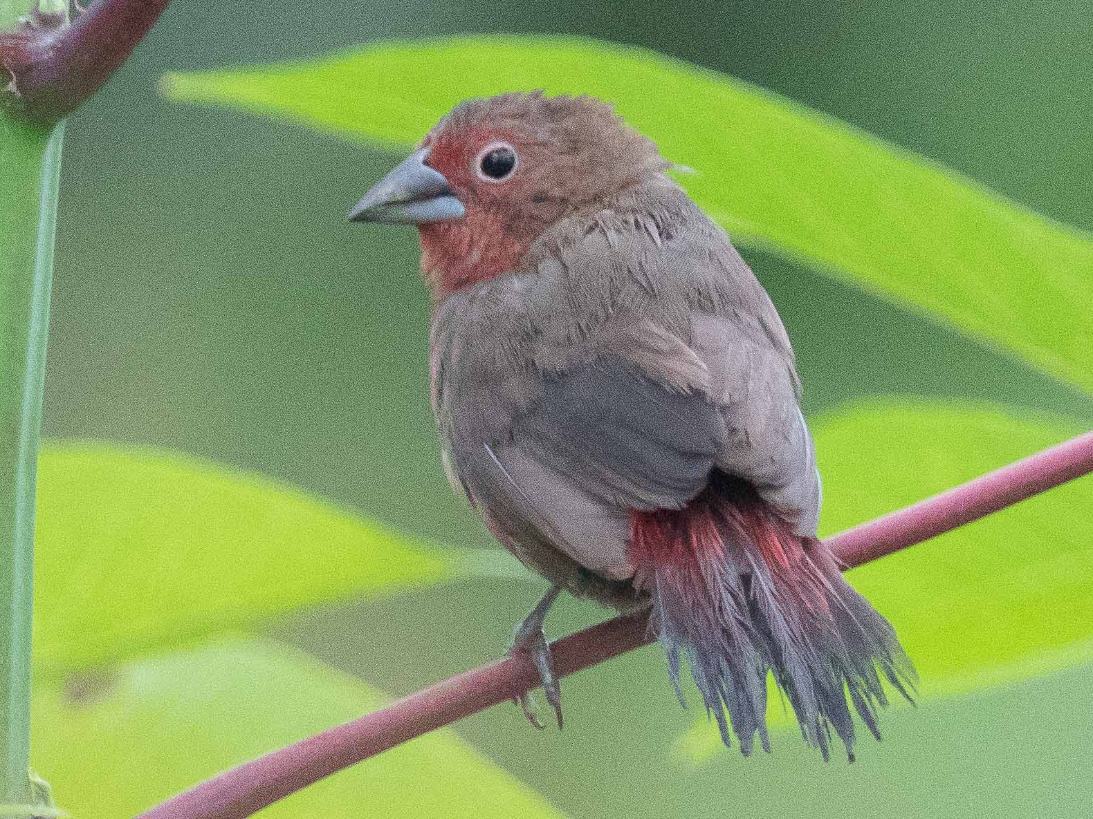 African Firefinch - Jim Hully