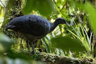 Black Tinamou