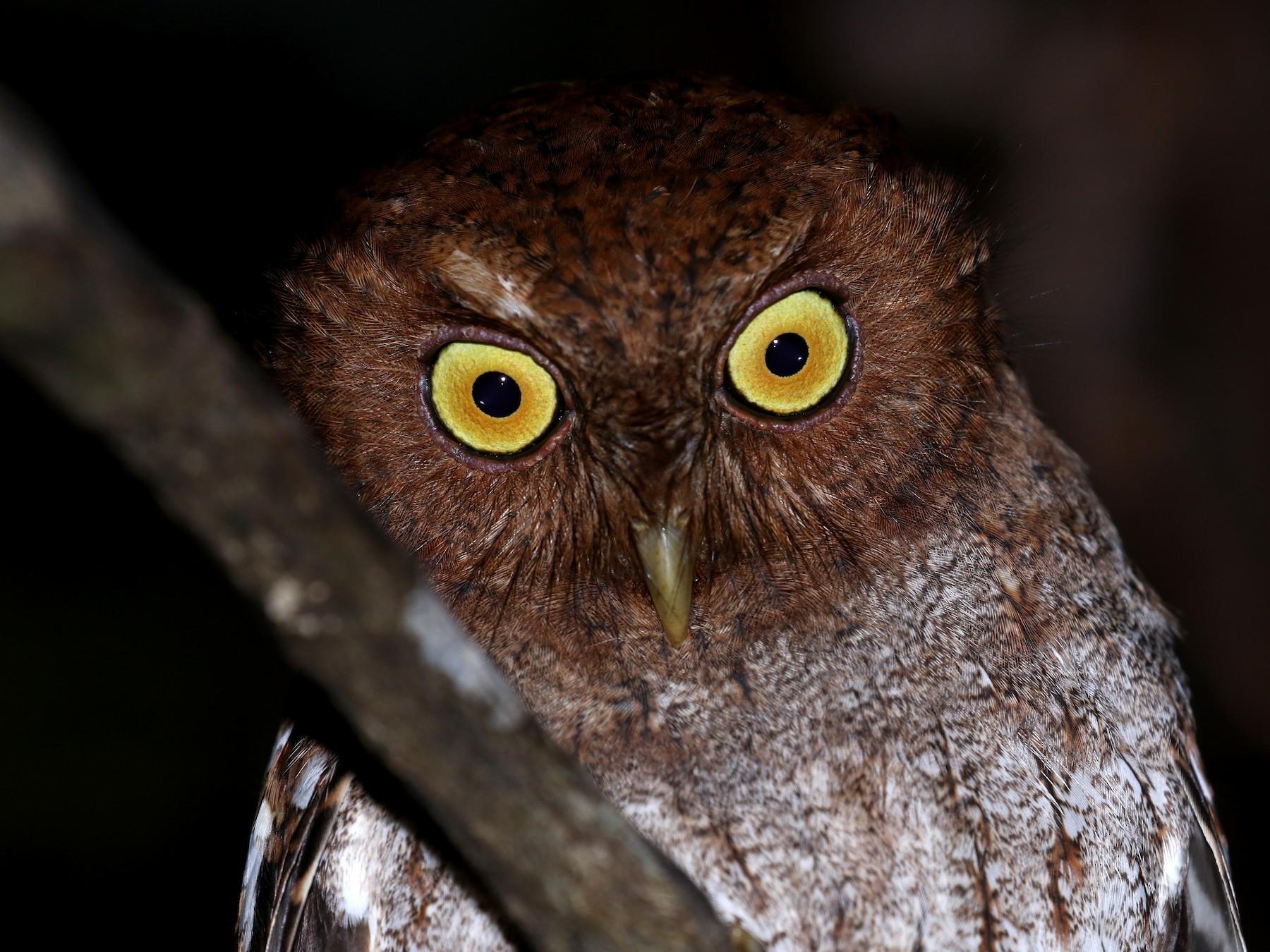 Choco Screech-Owl - Jay McGowan