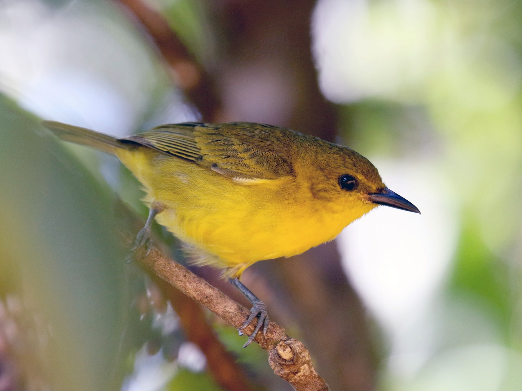 Black-and-yellow Tanager - Jay McGowan