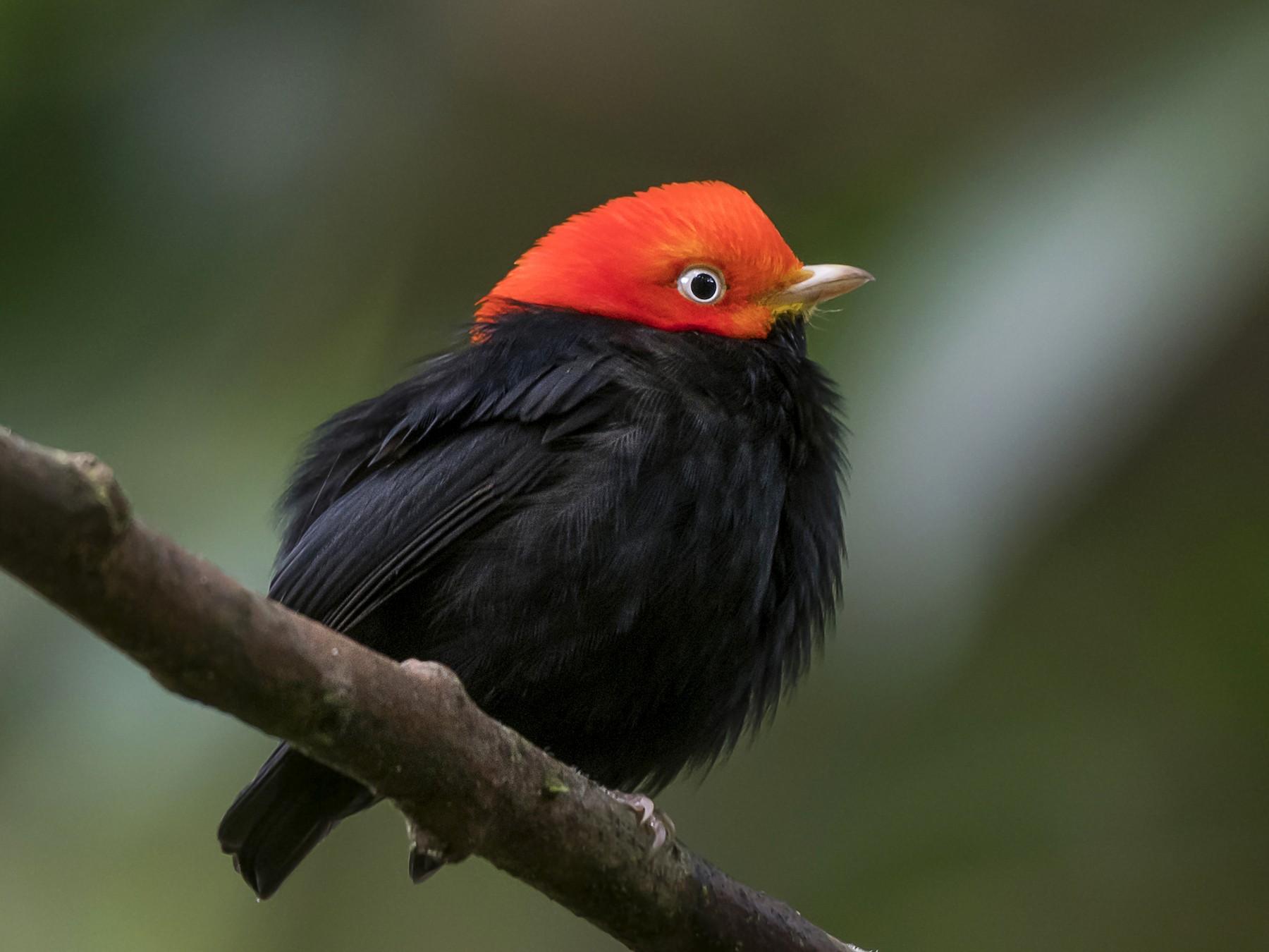 Red-capped Manakin - fernando Burgalin Sequeria
