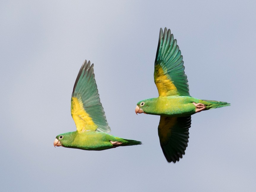 Orange-chinned Parakeet - Tom Johnson