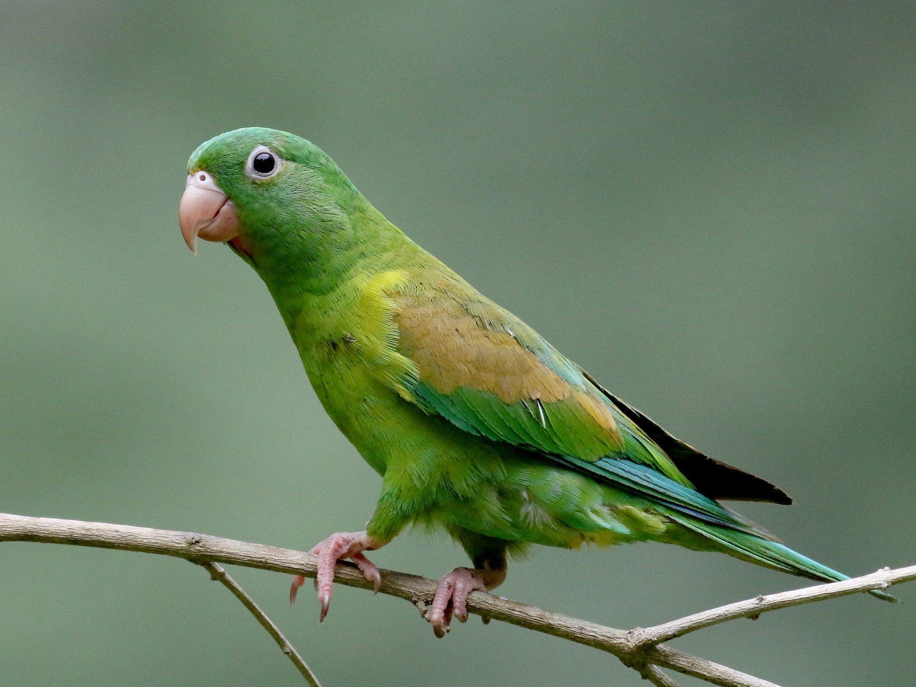 Orange-chinned Parakeet - Jay McGowan