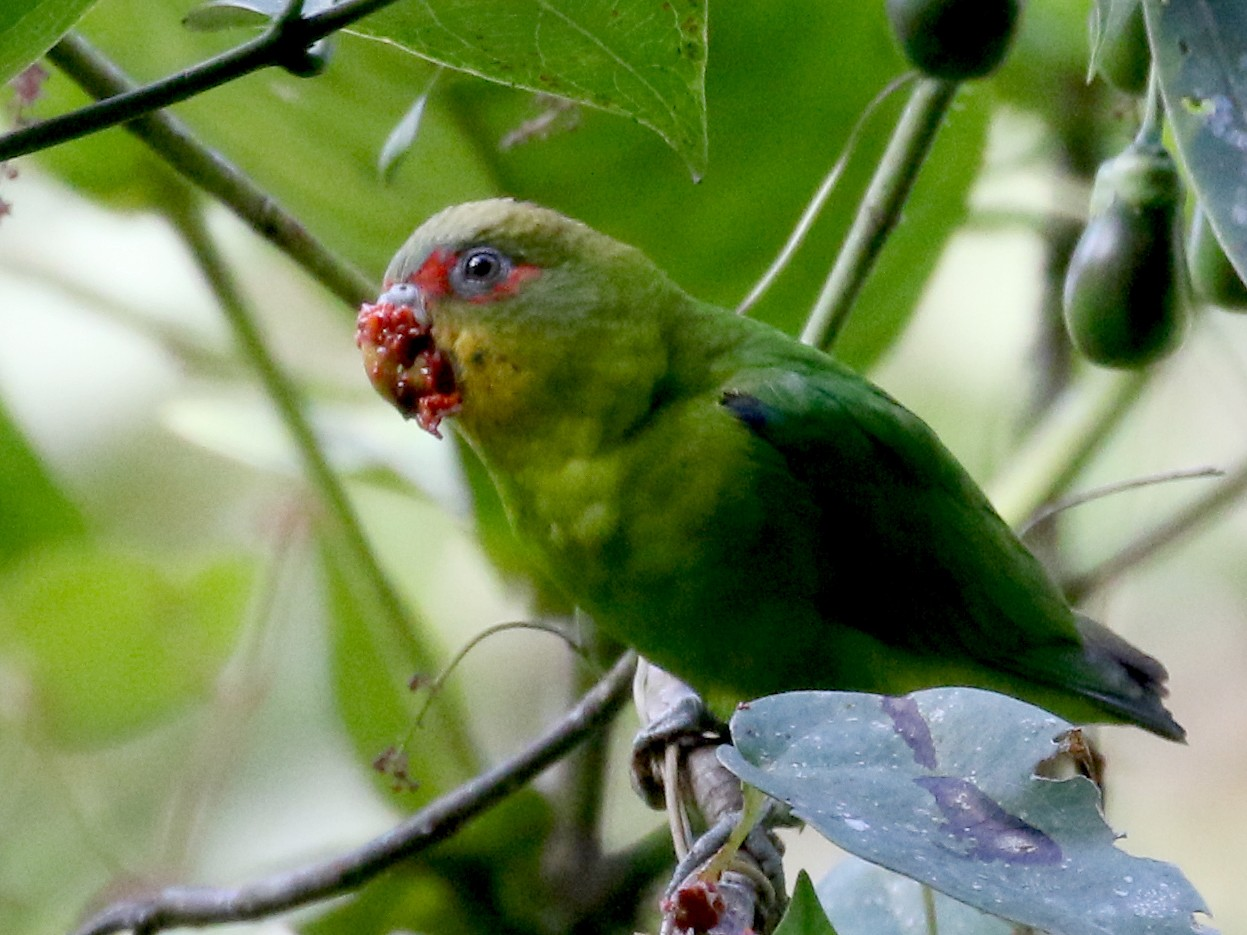 Blue-fronted Parrotlet - Jay McGowan