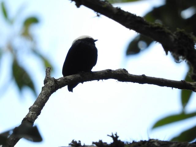 White-crowned Manakin male (presumed subspecies <em>comata</em>)