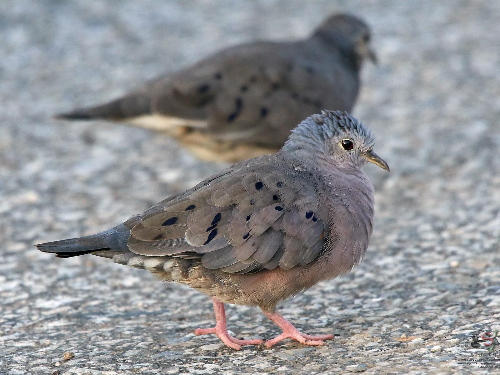 Plain-breasted Ground Dove - Wendell SJ Reyes