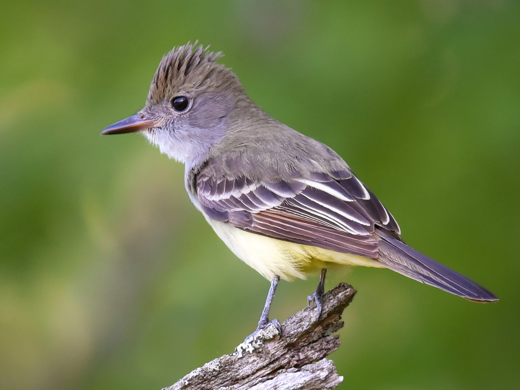 Great Crested Flycatcher - Scott Martin