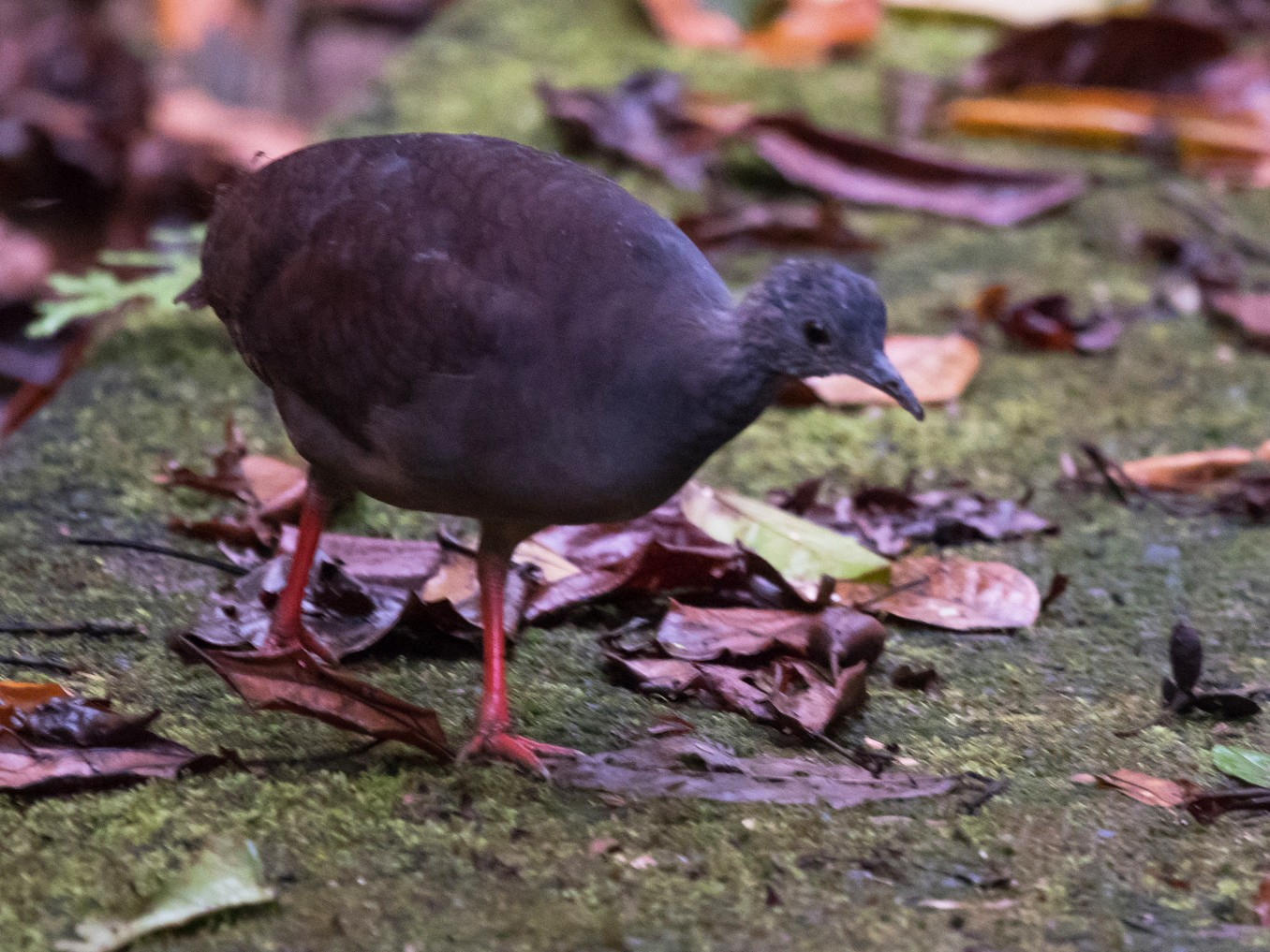 Slaty-breasted Tinamou - Nic Allen