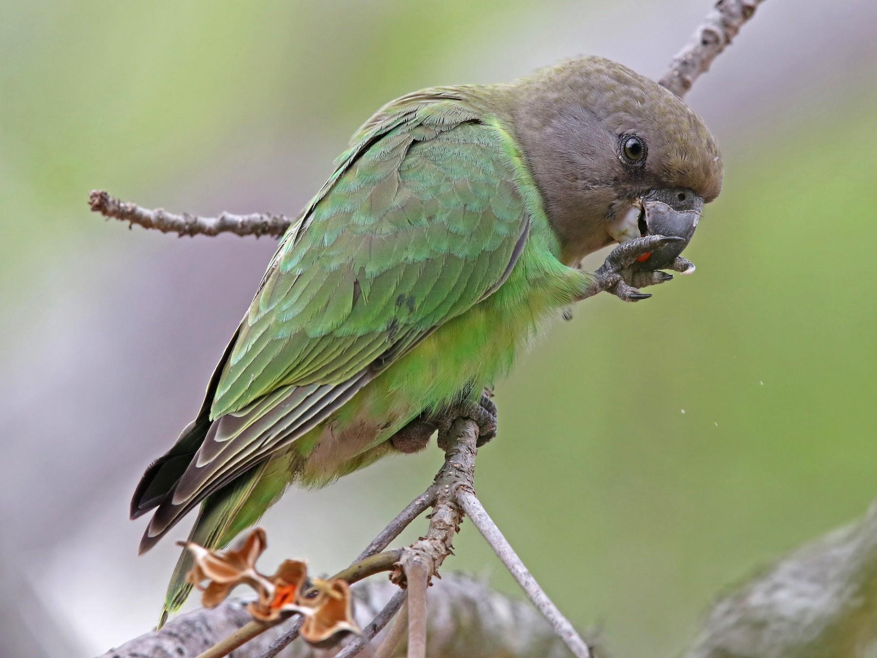 Brown-headed Parrot - Volker Hesse