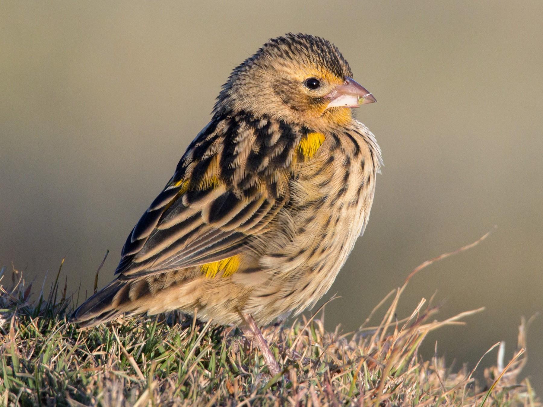 Yellow Bishop - Ian Davies