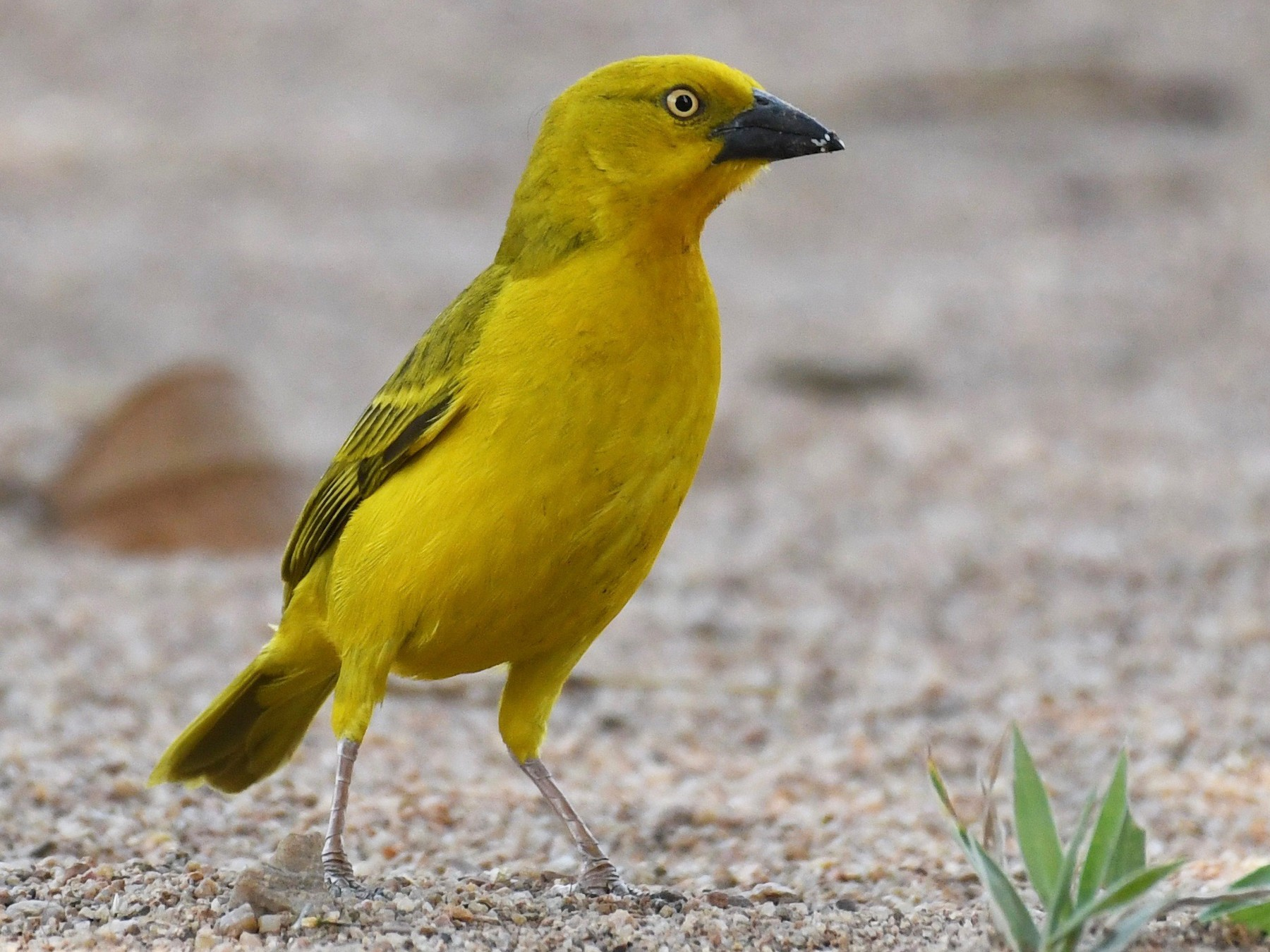 Holub's Golden-Weaver - Theresa Bucher