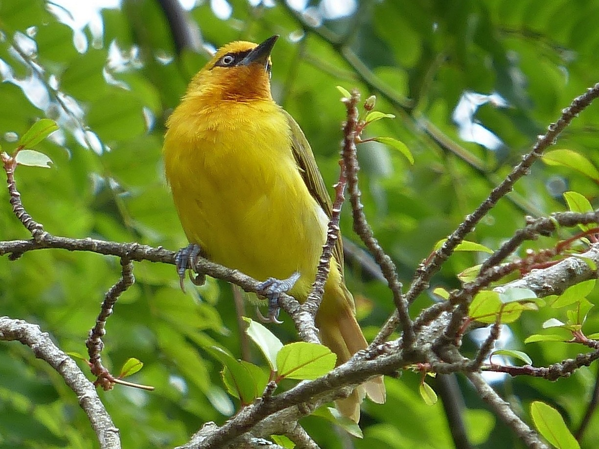 Spectacled Weaver - Stéphane  Thomin