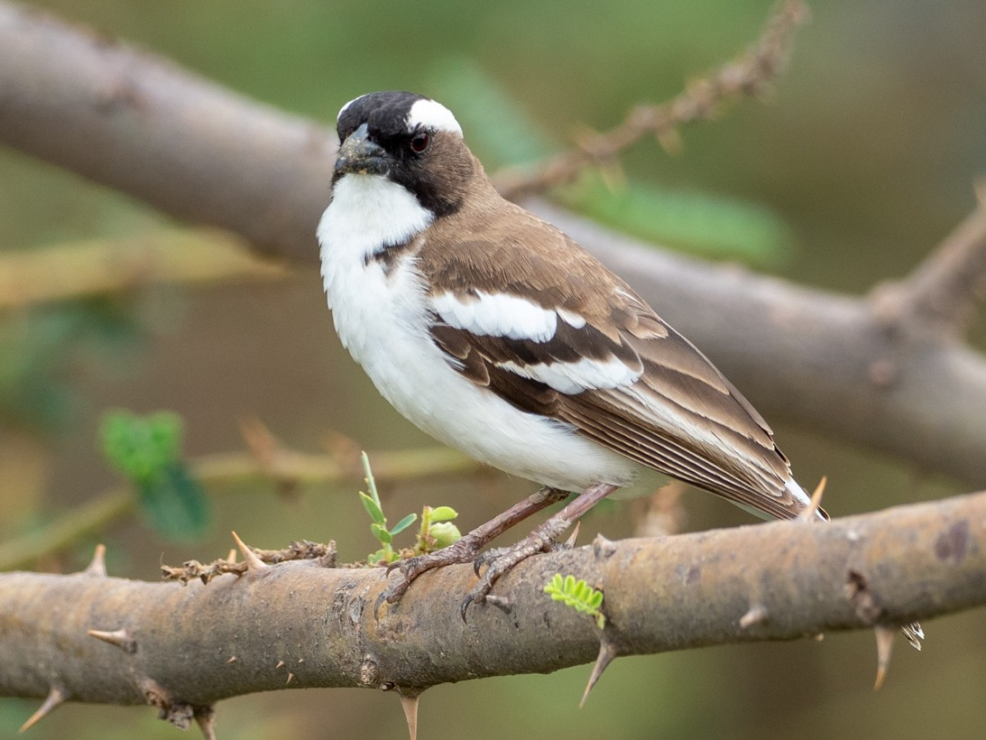 White-browed Sparrow-Weaver - Forest Jarvis