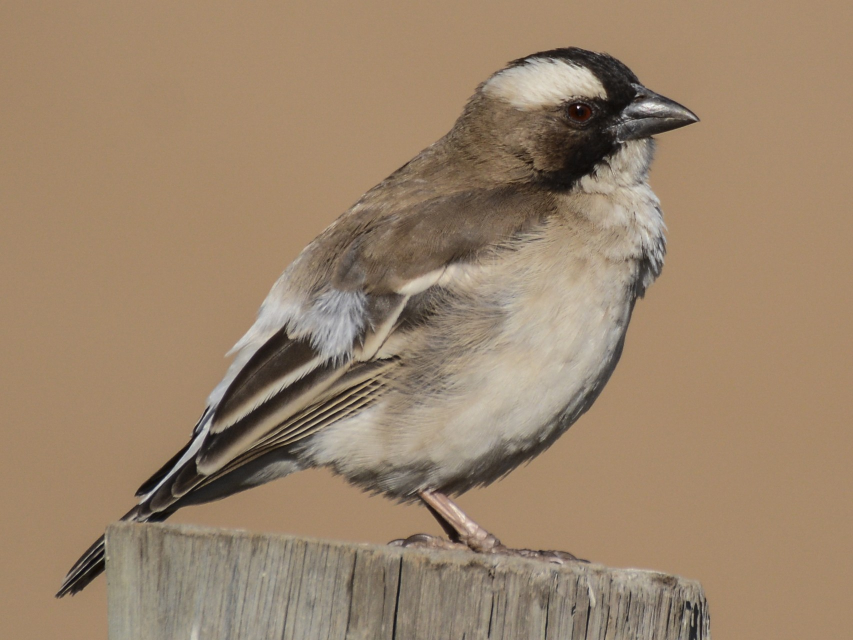 White-browed Sparrow-Weaver - Patrick Maurice