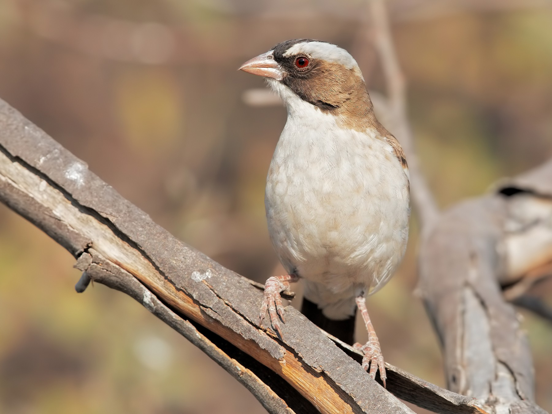 White-browed Sparrow-Weaver - Marco Valentini