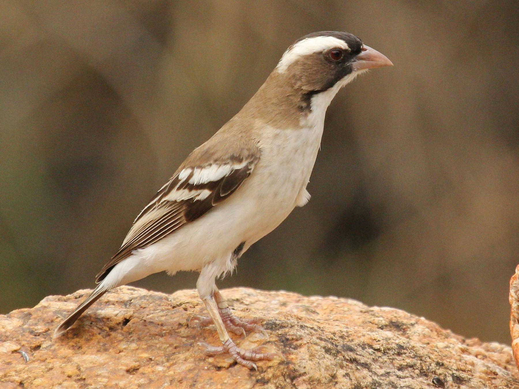 White-browed Sparrow-Weaver - Andrey Vlasenko