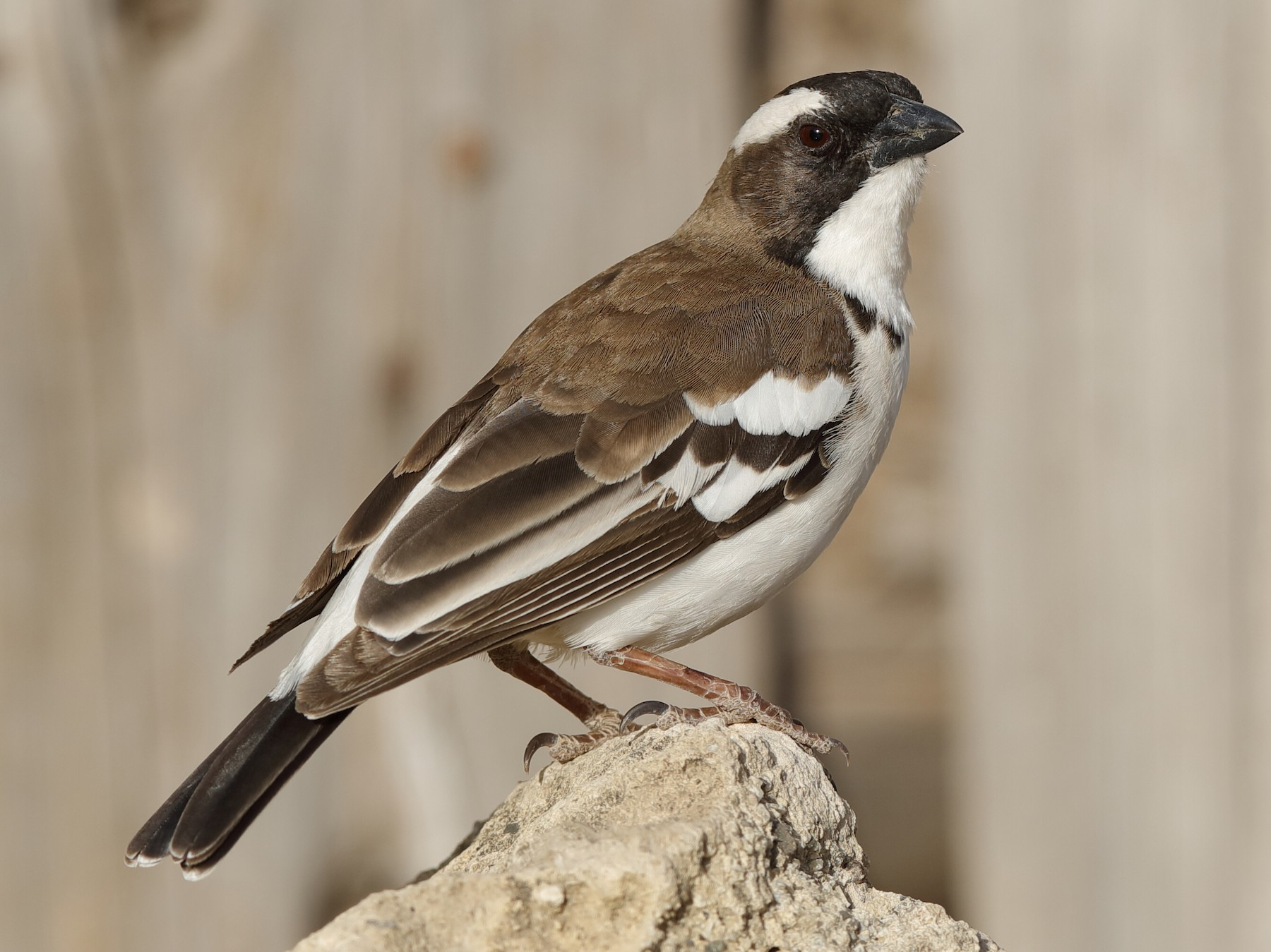 White-browed Sparrow-Weaver - Holger Teichmann