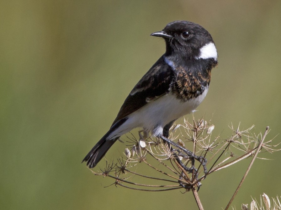 African Stonechat - Marco Valentini