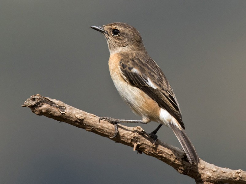 African Stonechat - Lars Petersson