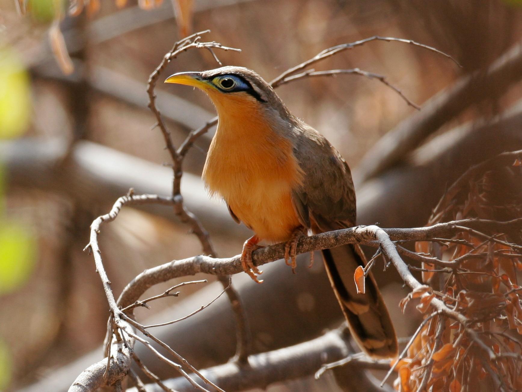 Lesser Ground-Cuckoo - Chris Wood
