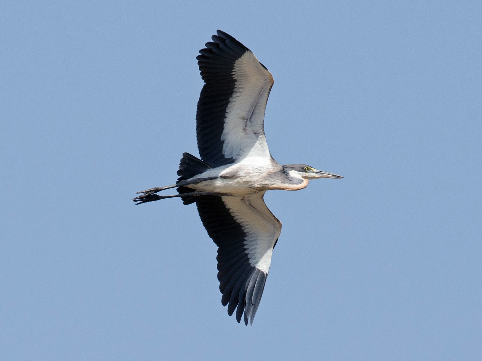 Black-headed Heron - Chris Wood
