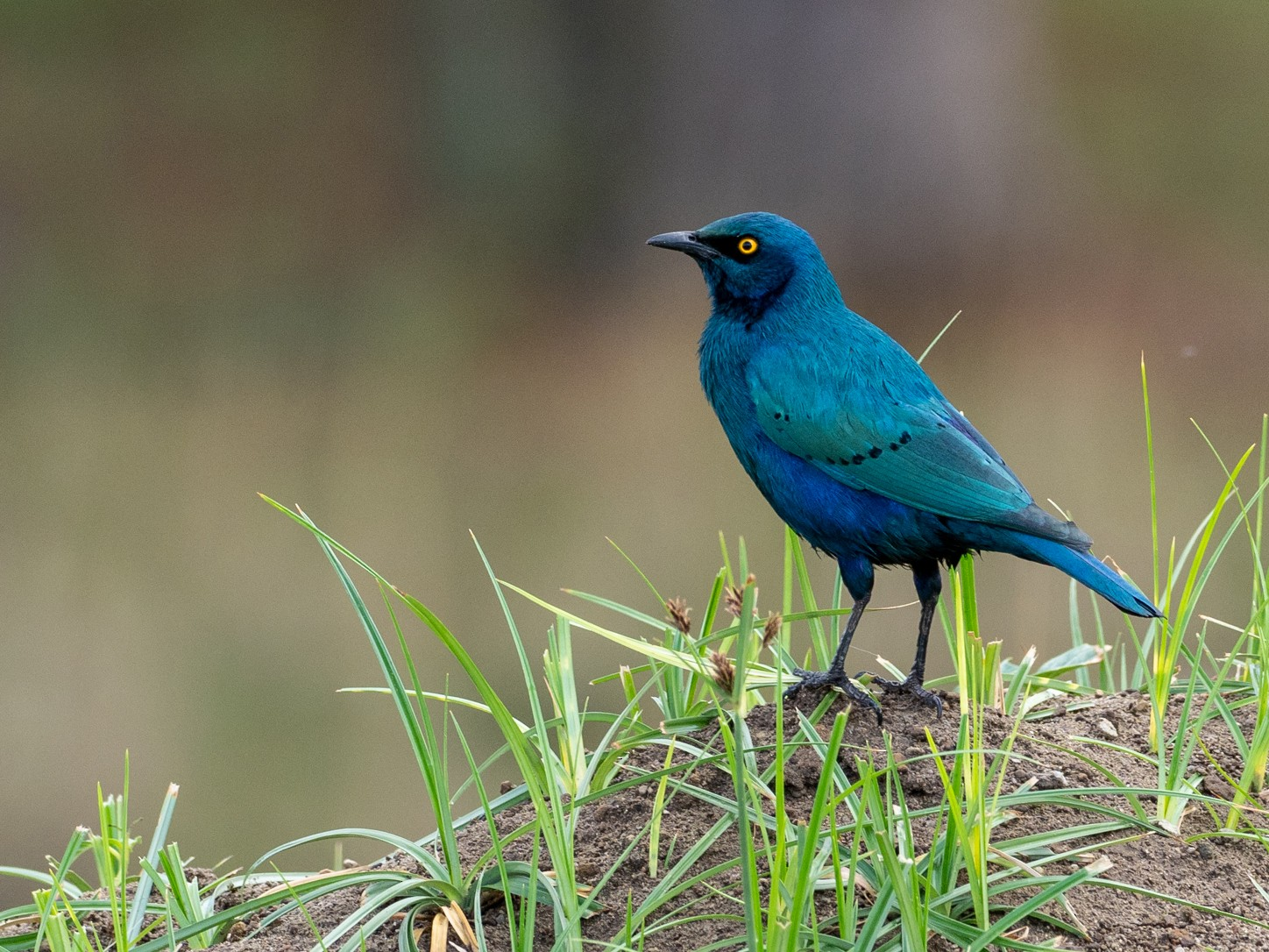 Greater Blue-eared Starling - Forest Jarvis